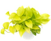 Neon Pothos Air Purifying Indoor Plant, Live houseplant, Easy Care, Housewarming, Birthday Present, Gift for Her, gardening