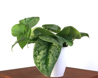 Silver Splash Pothos, Air Purifying Indoor Plant- Live House Plant, Easy Care, Gardening, Home, Office, Dorm Decor, Holiday Gift Ideas
