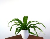 Birds Nest Fern Air Purifying Indoor Plant, Live Houseplant - Low Light Plant, Pet Safe, Gardening, Home, Office, Dorm, holiday decorations