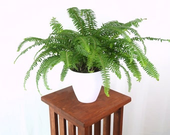 Large Boston Fern Air Purifying Plant