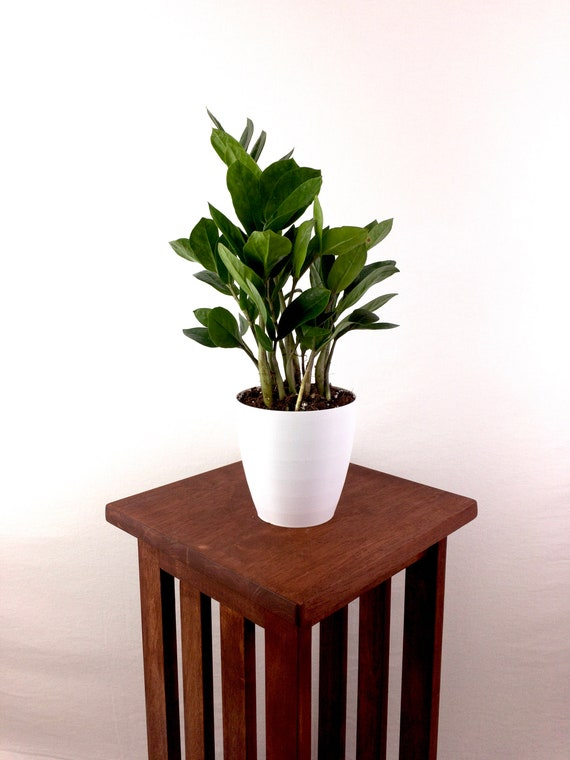 Large ZZ Plant (Zamioculcas Zamiifolia) Live House Plant - Super Easy on african violets care, dwarf umbrella tree care, pets care, plant care, geraniums care, flower care, landscaping care,