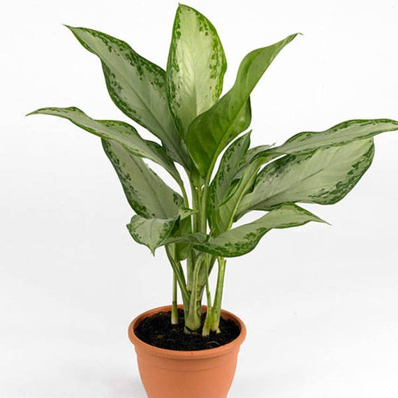 Air Purifying Plants For Bathroom: Chinese Evergreen Silver Bay Air Purifying Plant Easy Care