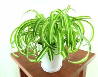 """Curly Spider 'Bonnie' Air Purifying Indoor Plant (low light) in 4"""" 3 D printed Biopot"""