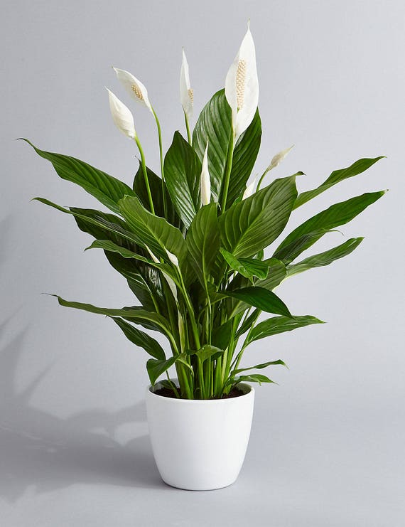 Peace Lily Air Purifying Plant Easy Care Low Light Etsy