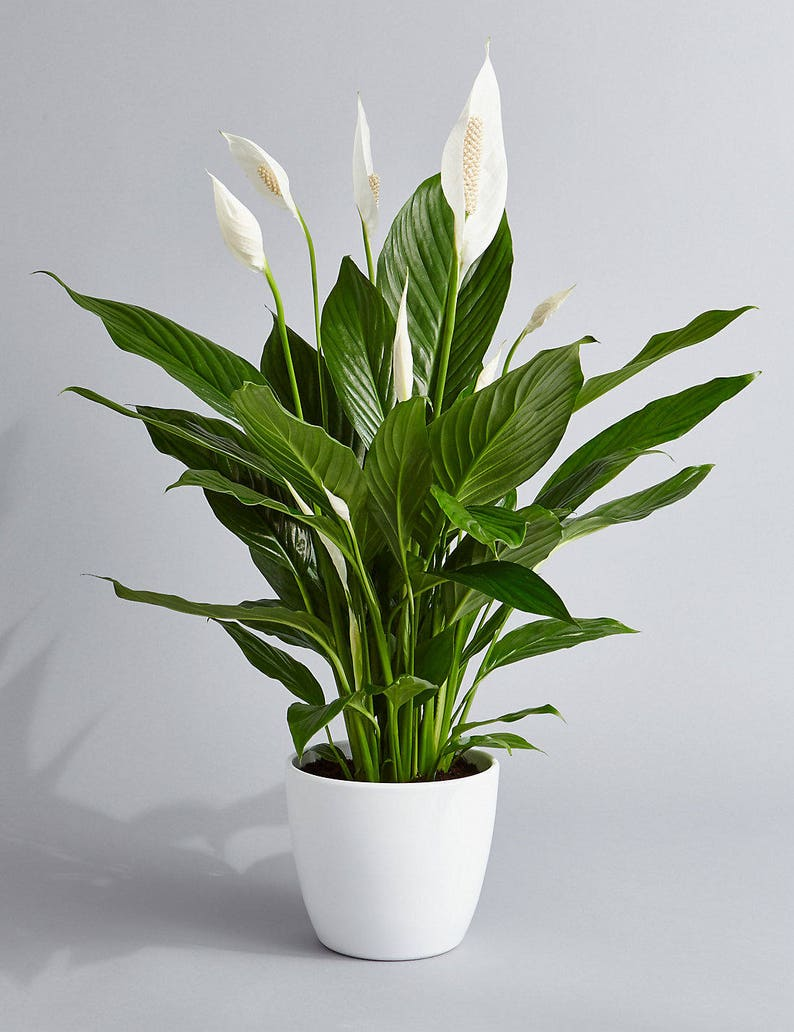 Peace Lily Air Purifying Plant  Easy Care Low Light image 0