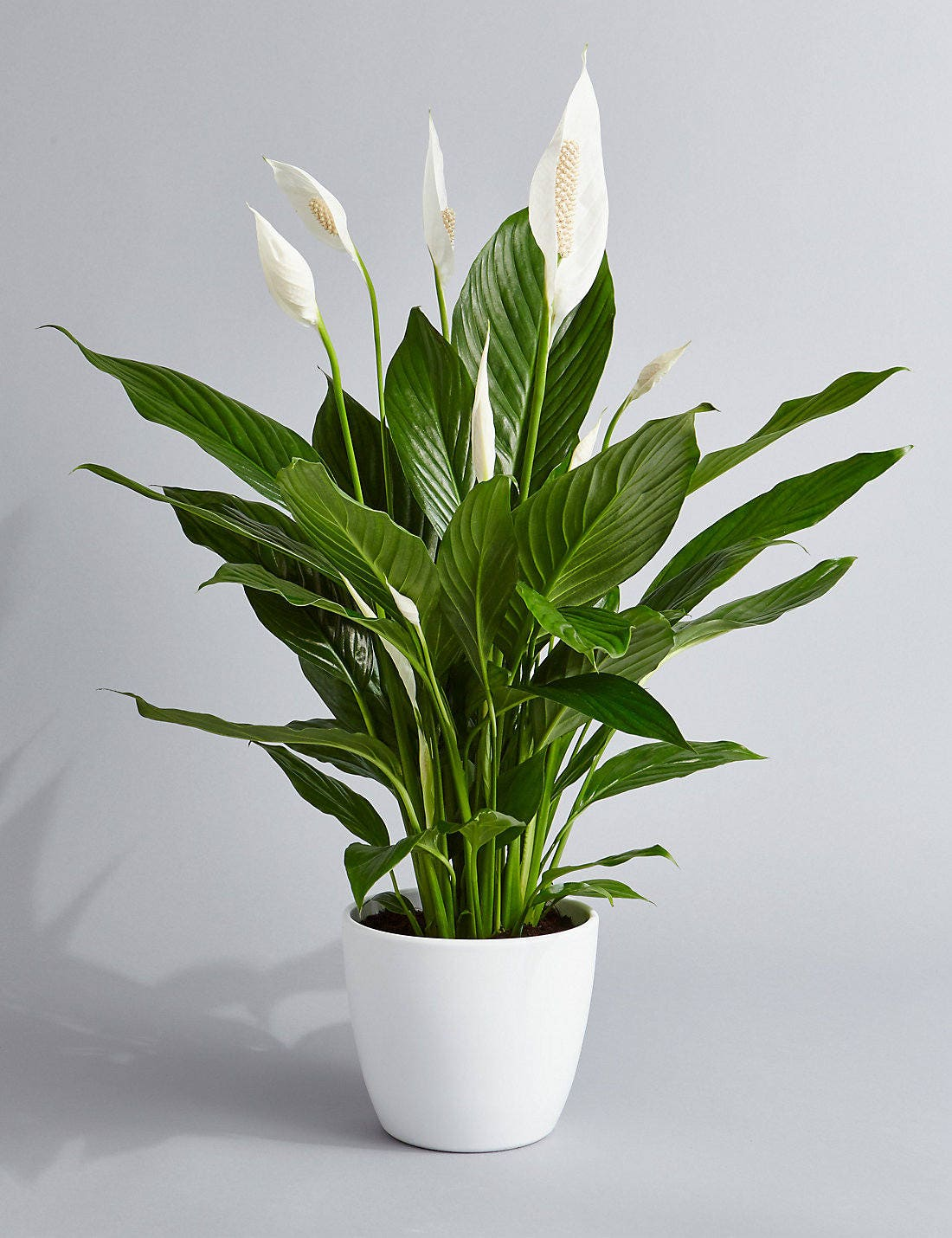 Peace Lily Air Purifying Plant Easy Care Houseplant Etsy
