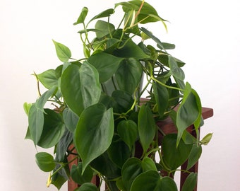 """Large Heartleaf Philodendron Air Purifying Indoor Plant in 6"""" 3D printed Biopot"""
