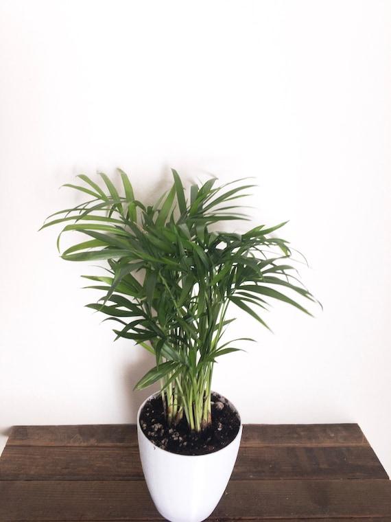 ec2fbf4baa2 Baby Bella Palm Parlor Palm Air Purifying Plant EasyCare