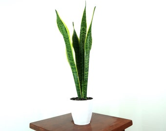 """Snake Plant / Mother in Law's Tongue (Sansevieria trifasciata Laurentii) Air Purifying Indoor Plant in 4"""" 3D printed Biopot"""