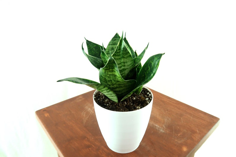 Snake Plant / Mother in Law's Tongue (Green Bird's Nest / sansevieria  Hahnii) Air Purifying Plant - Easy Care Live Houseplant, Housewarming