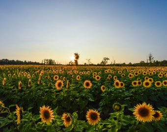 Sunflower Field 2018-1 | 8x10