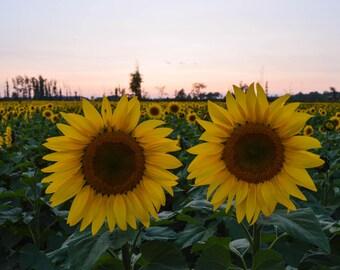 Sunflower Field 2018-4 | 8x10