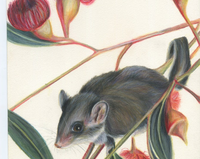Feathertail Glider - Australian Marsupial Drawing - Australian art, animal art, Australian possum, flowers, gum leaves, eucalypt,