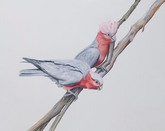 Australian Galah Art. Galah bird art drawing fine art print. Christmas gift for mum and dad. Teachers gift. Wall art, realistic art. Animals