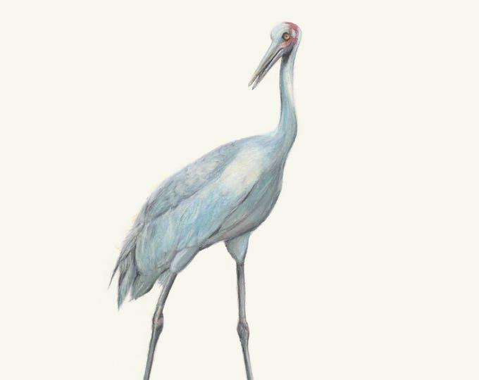 Australian Brolga. Australian Bird Print. Great Christmas gift for bird lovers.