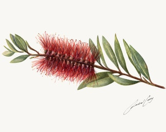 Red Australian Flower. Botanic Watercolour Painting Art. Callistemon, Bottlebrush.