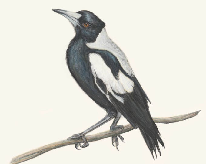 Magpie Wall Art. Australian Magpie drawing print. Collingwood, gift for her, gift for him, gift for dad. Bird lover wall decor artwork