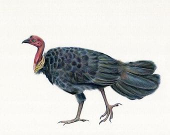 ORIGINAL ARTWORK: Brush Turkey, Bush Turkey. Noosas iconic Queensland bird! Memories of Noosa with this iconic bird artwork. Pencil drawing