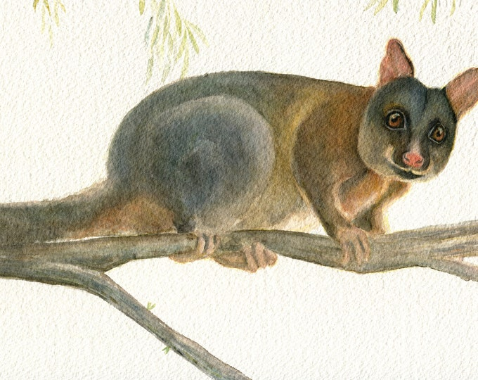 Possum. Australian native animal. Australian Brush Tailed Possum. Cute animal print. Watercolour art print. Possum gift. Possum print. Cute.