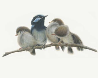 Blue fairy wrens. Bird art print from original artwork. Great Christmas gift - gift for mum, gift for her, blue wren, blue bird, Australian