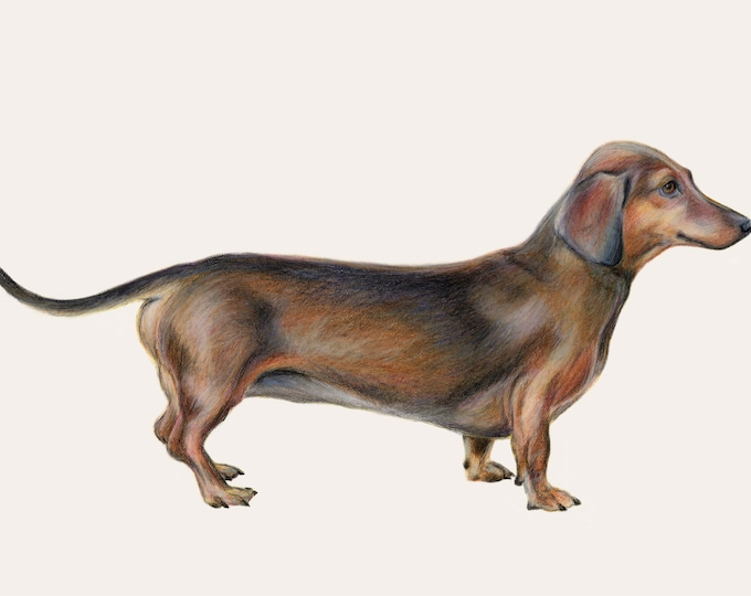 Dachshund dog - Sausage dog art, daxy art, dog print. Dachshund lover. Great gift. Can be customised with name etc. Special dog art.