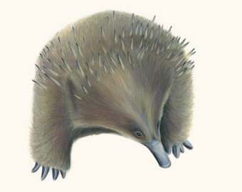 Echidna. Australian native animal. Echidna, Australian. Australia's hedgehog. Cute animal print. Echidna gift.