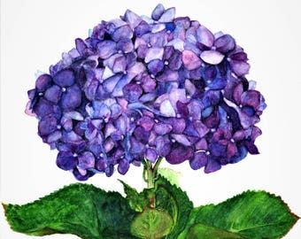 "Hydrangea,fine art giclee reproduction of an original watercolor painting by Meike Geisler 11.25"" x 14"" flower,purple,blue, green"