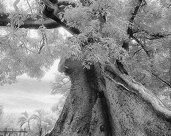 Ceiba Tree, Ponce, Puerta Rico, USA