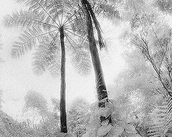 Fern Tree, Rainforest, Puerto Rico, USA