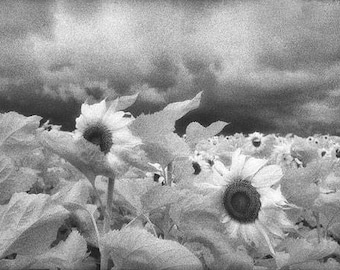 Sunflowers in a Storm, Texas. USA
