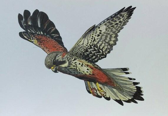 10 X8 Kestrel W Locie Ptak Drapieżnych Giclee Etsy
