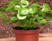 Pilea peperomioides Chinese Money Plant in 4 quot pot