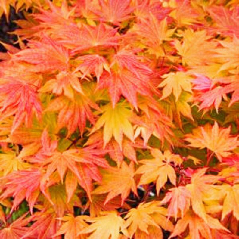 Autumn Moon Japanese Maple image 0