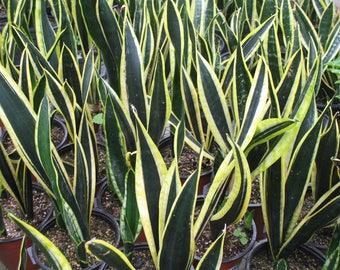 "Black Gold Snake Plant in 6"" Pot"