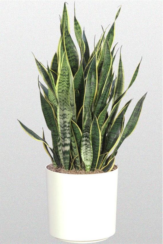 snake plant in 10 pot sku  11024