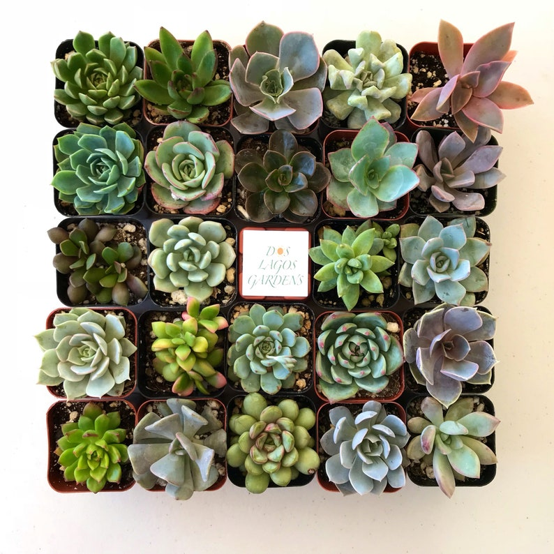 151296 or 3 Potted succulent Rosette plants Rosette succulent pots 2 inch potted succulents Rosette assortment 3,6,9 or 12 count