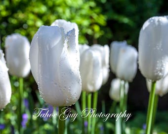 Photograph: White tulip in a formal garden (4700 x 3400)