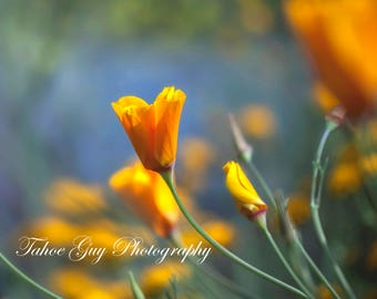 Photograph: California Poppy (2800 x 2200)
