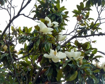Magnolia Tree Etsy