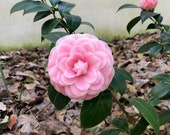 Camellia japonica Pink Perfection Plant FREE SHIP
