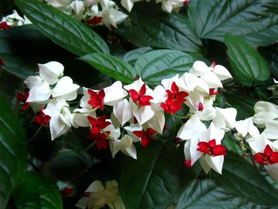 Clerodendrum Thomsoniae White Bleeding Heart Vine Plant Etsy
