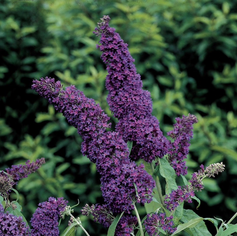 Picture of Live Black Knight Butterfly Bush aka Buddleia 'Black Knight' Shrubs Plant Fit 1 Gallon Pot