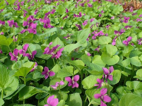 Viola sororia Rubra Wooly Violet Emperor Magenta Red 10 seeds