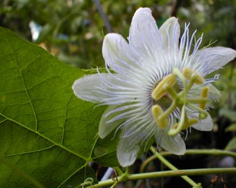 Passiflora foetida var. alba 2 potted Plants FREE SHIPPING