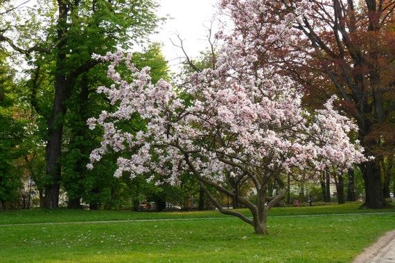 Live Plants Trees 5 Saucer Magnolia Tree Seeds Magnolia