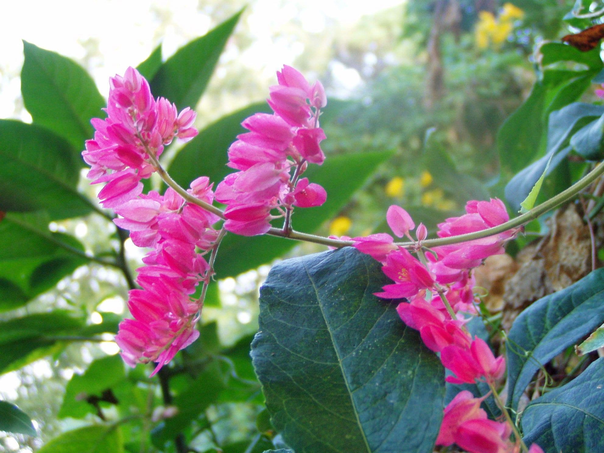Antigonon Leptopus Pink Chinese Love Vine Plant Or Seeds Free Etsy