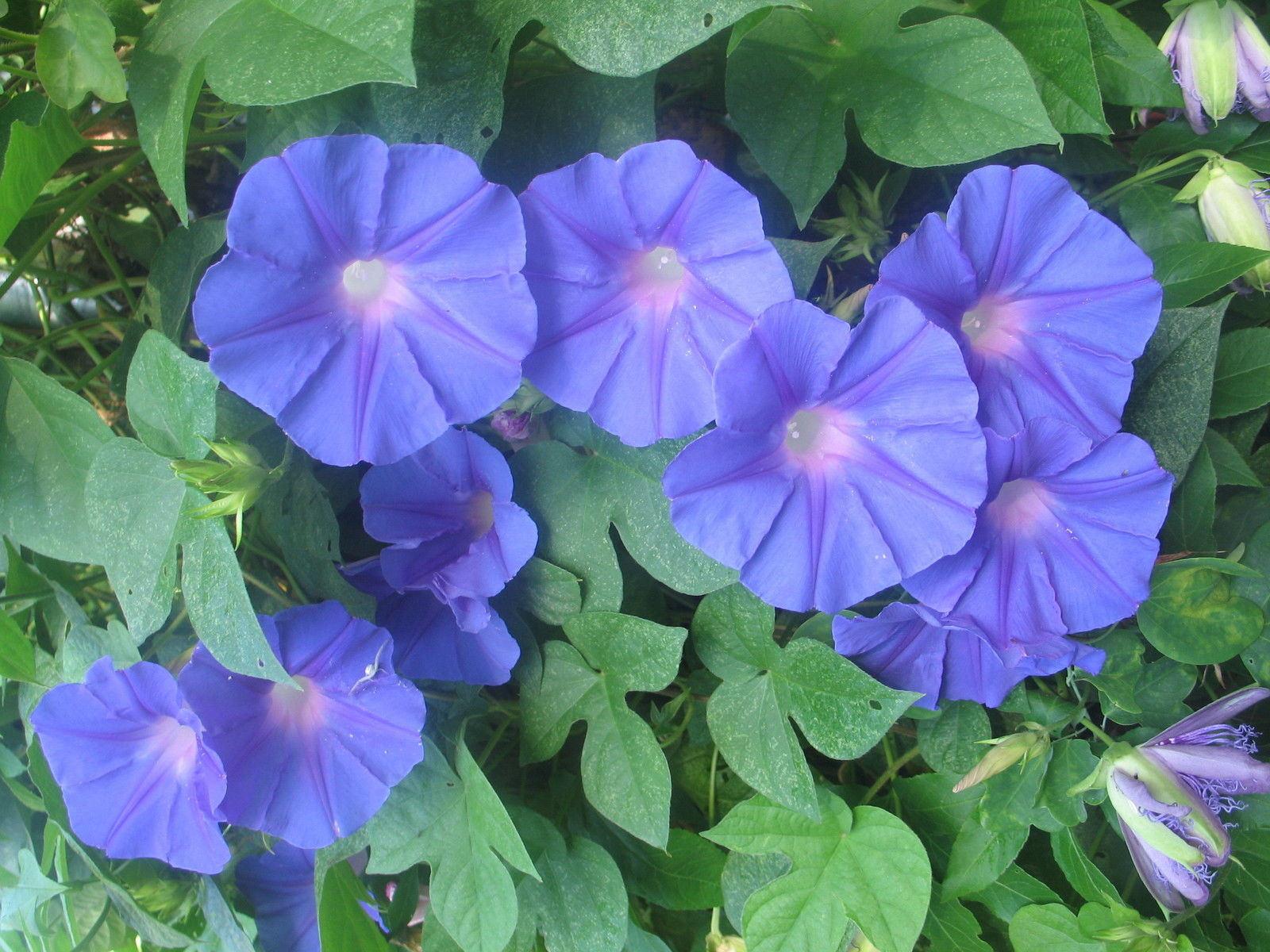 Morning glory acuminata blue dawn perennial plant free ship etsy image 0 image 1 izmirmasajfo