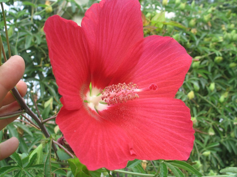 Hibiscus Moscheutos Lord Baltimore Plant Or Seeds Free Ship Etsy