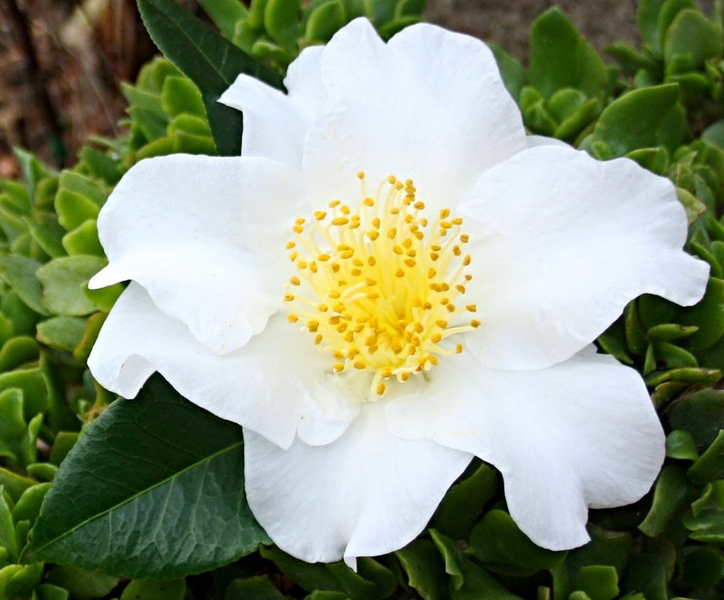 Camellia japonica Silver Waves Pint Plant FREE SHIP