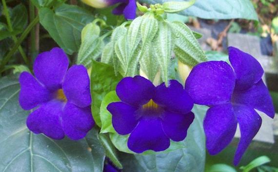 Thunbergia battiscombei Blue Glory Quart Plant FREE SHIP